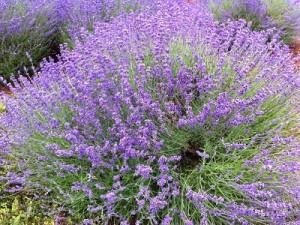 Lavendel in voller Farbpracht